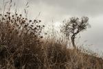 Almond tree under dark clouds, Spain.